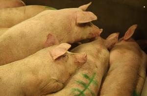猪肉涨价之下,中国催生8